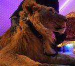 """IPJ Argeş anchetează cum a fost făcut videoclipul lui Dani Mocanu – """"Stop România"""", în care apare un leu"""