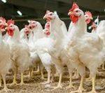 Comerțul cu păsări vii, suspendat 30 de zile, după depistarea unui focar de gripă aviară