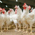 Nou focar de gripă aviară, în nordul Bulgariei
