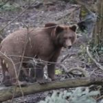 Anchetă în Vrancea, în urma unei partide ilegale de vânătoare în timpul căreia a fost împușcat un urs