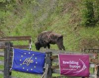 Un nou transport de zimbri a ajuns în Banatul Montan, la Armeniș, tocmai din Germania   FOTO