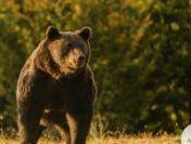 Autoritățile din Brașov iau măsuri pentru limitarea apariției urșilor | AUDIO