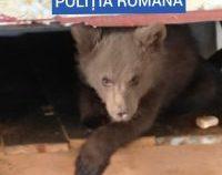 Pui de urs ţinut captiv, eliberat de poliţişti / Video