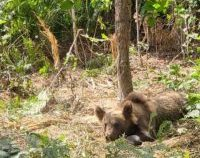 Gorj: Urs prins într-o capcană lângă Turcinești. Polițiștii fac cercetări pentru braconaj