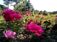 Trandafiri02