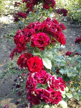 Trandafiri04