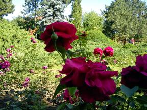 Trandafiri06
