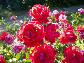 Trandafiri08