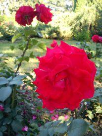 Trandafiri09