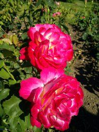 Trandafiri11
