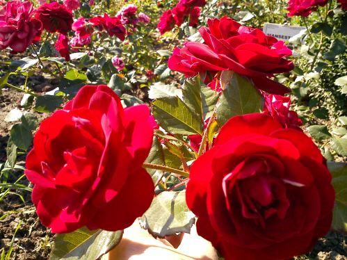 Trandafiri15