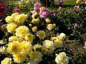 Trandafiri19