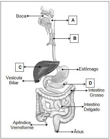 Exercicios de sistema digestório com gabaritos