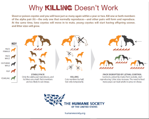 Why Killing Coyotes Does Not Work