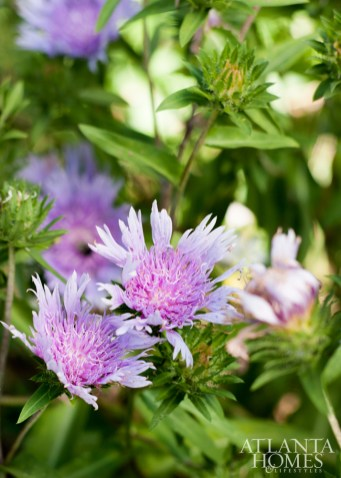 The cold frame, located on the side of the greenhouse, houses seeds planted for germination during late winter/early spring. Beautiful, statement-making blooms include 'Omega Skyrocket' Stokes' aster.