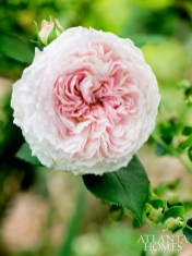 A buxom Abraham Darby rose brandishes lacy, pale-pink petals.