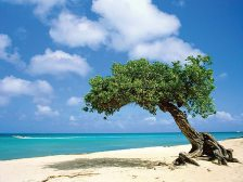 If you ever find yourself in need of a compass on Aruba, just find a Divi Divi (or Watapana) tree which grows in a southwesterly direction due to the island's trade winds. opposite