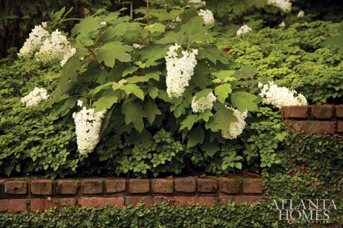 Clusters of 'Snowflake' Oakleaf Hydrangea, a double-flowering oakleaf, cascade over a brick wall.