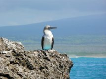 The iconic blue-footed booby is a one of the island's original residents.