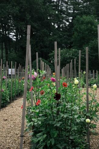 The 100-year-old dahlia garden.