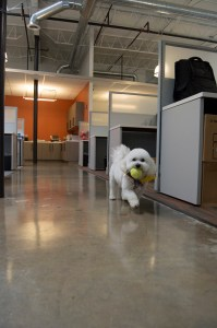 Linus has plenty of room to play ball at the B2B offices.