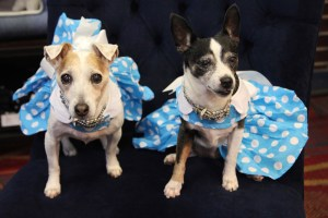 Lucy and Holly in dresses from Top Dogs Boutique, and rhinestone collars from Pooch N Paws. Kathi Welch