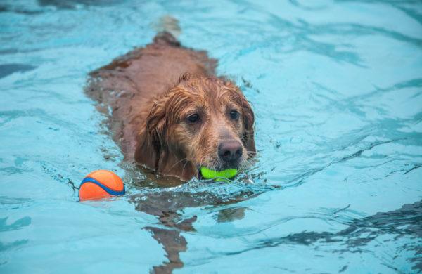 A golden fetches a tennis ball at Piedmont Park's Aquatic Center