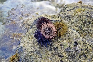 Sea urchin on rocks at a coastline