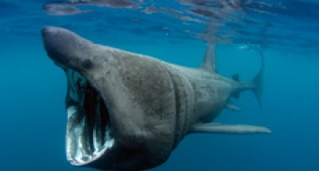 Basking Shark fact sheet