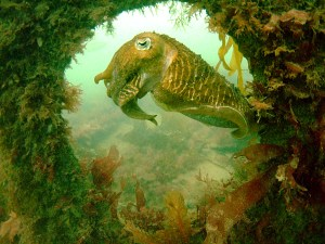 Cuttlefish on Rock Island Bridge wreck