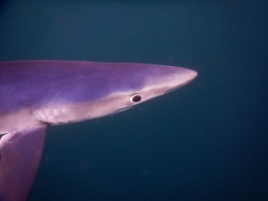 Blue Sharks out of Falmouth