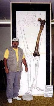 """Abb. 3 Beeindruckend, aber als Beweis für die vorgeschichtliche Existenz humanoider Giganten von 5 m - 6 m Körpergröße untauglich: Das Femur-Imitat des """"Riesen aus dem Euphrat-Tal"""" als Exponat bei einer Ausstellung."""