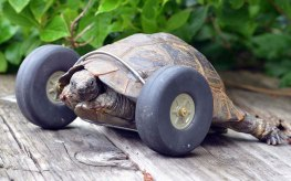 pet tortoise fitted with wheels