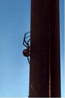 Black Widow silohette