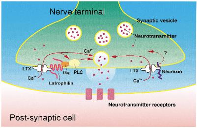 latrotoxin in action