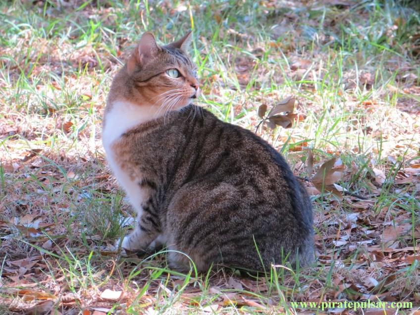 Manx Cat 2