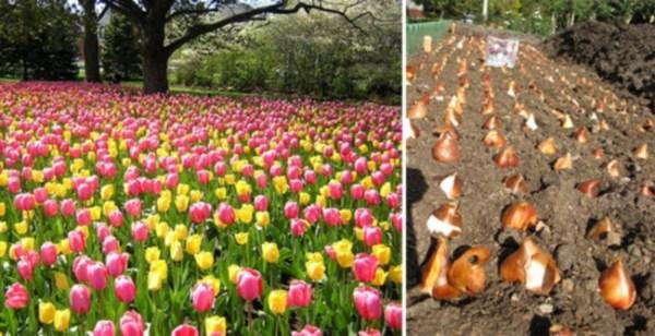 Как посадить тюльпаны осенью | Агропромышленный вестник