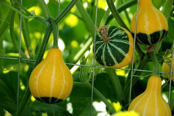 Декоративная тыква: виды, сорта, особенности выращивания ...