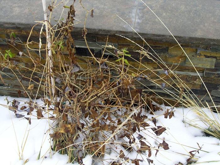 Подготовка жимолости к зиме правила осеннего ухода