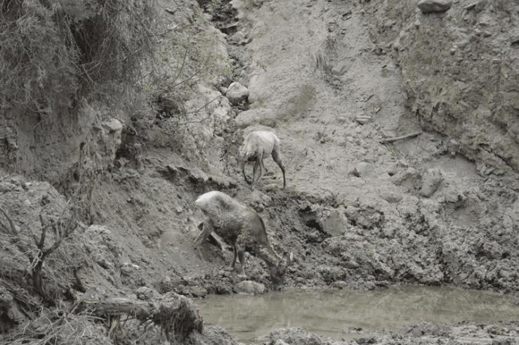 grannie geek big horn sheep leaving watering hole, yellowstone
