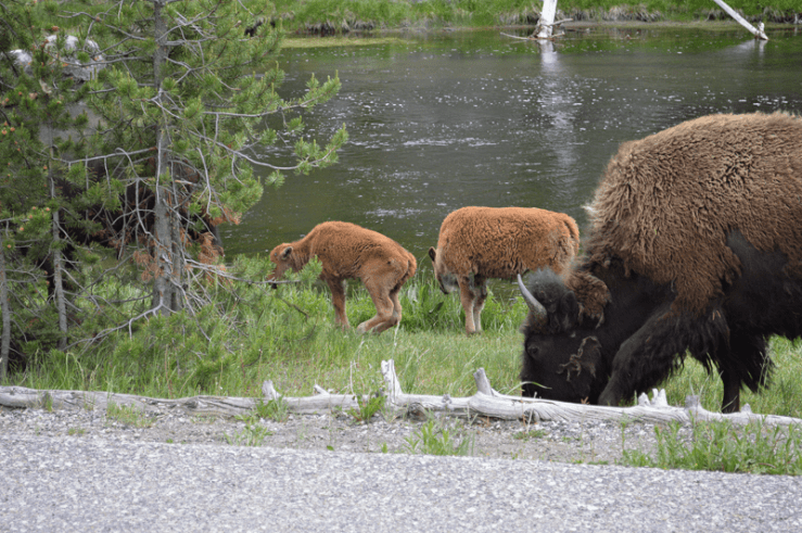 grannie geek, mother buffalo and calves grazing near Firehole River, Yellowstone