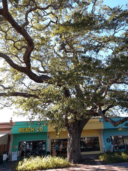 at mimi's table oak tree 3
