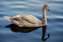 Cygnet Almost Fully Grown | September 26, 2009