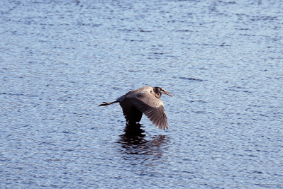 Great Blue Heron in Flight | November 20, 2011, 11:52 am