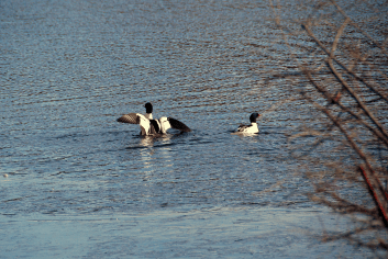 11:37:38 am | After his dunking, merganser performs a flight check.