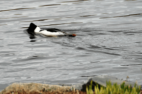 Common Merganser Snorkeling | April 7, 2012