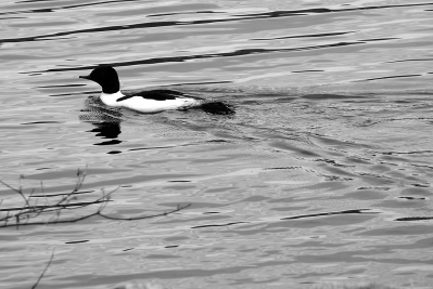Common Merganser Between Snorkels | April 7, 2012