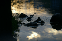 Great Blue Heron at Dawn | July 2, 2012, 5:56 am