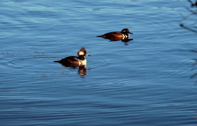 Hooded Merganser Drakes | November 9, 2012, about noon