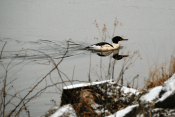 ommon Merganser Drake in Pursuit | December 25, 2012, 8:27 am